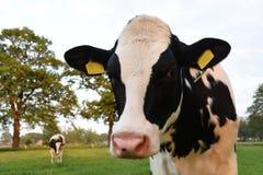 Устрашайте смотреть в камере с коровой на предпосылке Стоковые Изображения