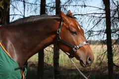 Устрашенная лошадь залива в зеленом портрете пальто в общем Стоковые Фотографии RF
