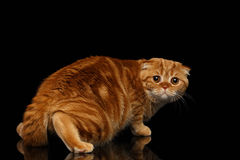 Устрашенные Scottish имбиря складывают кота смотря назад изолированы на черноте Стоковые Изображения