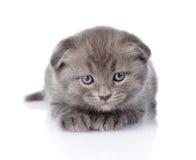 Устрашенный великобританский котенок shorthair смотря камеру изолировано Стоковое Изображение RF