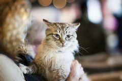 Устрашенный пушистый бездомный кот в руках волонтера девушки в укрытии для бездомных животных Девушка принимает кота к ее дому Стоковые Фото