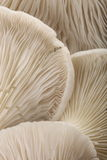 устрица гриба органическая Фотоснимок макроса, Стоковое фото RF