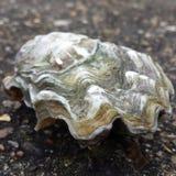 Устрица Whitstable стоковое фото