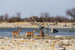 Услышанный антилопы импалы Стоковые Изображения