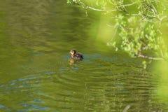 Утенок кряквы в пруде стоковое фото