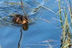 Утенок кряквы в пруде стоковые фотографии rf