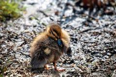 Утенок кряквы на тинном банке на весенний день в апреле Стоковая Фотография