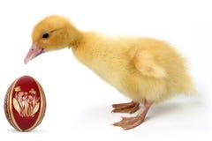 Утенок с пасхальным яйцом Стоковые Фото