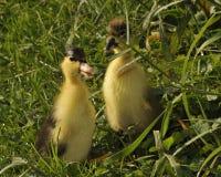 Утенок Springily на траве стоковое фото rf