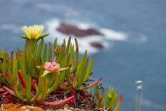 Утесистый цветок Iceplant океана Стоковое Изображение