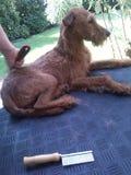 Утеска собаки стоковая фотография rf