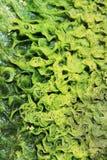 утесы водорослей Стоковое Изображение