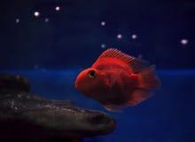 Утесы золотых красных рыб подводные sweaming отсутствующие близко под th Стоковые Фотографии RF