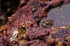 утесы лужицы mudskipper отдыхая Стоковые Фото