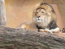 утесы льва ослабляя Стоковое Фото