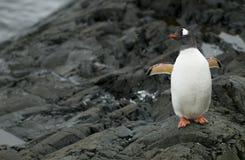 утесы пингвина gentoo Стоковые Изображения