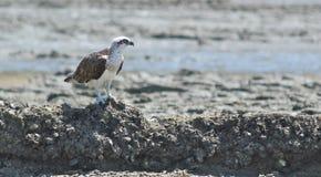 утесы osprey Стоковые Изображения RF