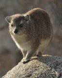 утесы procavia hyrax capensis Стоковое Изображение RF