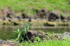 утес игуаны Стоковые Фото