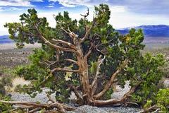 утес красного цвета можжевельника каньона Стоковое Изображение
