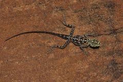 утес Намибии namibian агамы Стоковые Фотографии RF