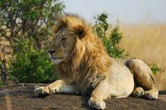 утес остальных льва Стоковое Изображение RF