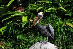 утес пеликана Стоковые Фото