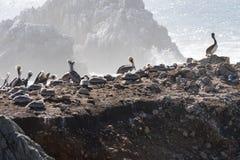 Утес птицы в парке запаса государства Lobos пункта в Монтерей Калифорния на солнечный, но туманный день Птицы как пеликаны и чайк стоковая фотография rf