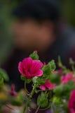 Утес Роза & x28 пинка Bokeh; Rockrose& x29; Стоковая Фотография RF