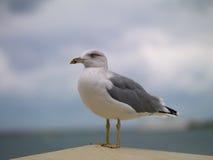 утес чайки Стоковые Изображения RF