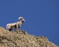 утес штосселя bighorn вулканический Стоковые Фотографии RF