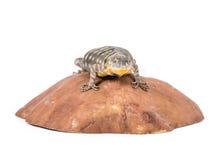 утес ящерицы baja голубой Стоковое Фото