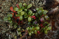 утес bush Стоковое Изображение