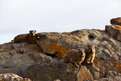 утес hyrax животных сидя 3 Стоковые Изображения