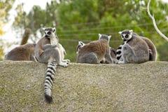 утес lemurs Стоковые Изображения RF