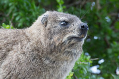 утес procavia hyrax capensis латинский названный Стоковое Изображение RF