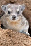 утес procavia hyrax capensis латинский названный Стоковые Фотографии RF