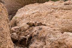 утес procavia hyrax capensis латинский названный Стоковое фото RF