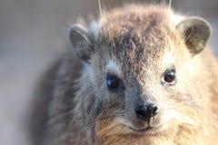 утес procavia hyrax capensis латинский названный Стоковая Фотография RF