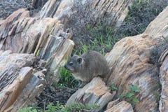утес procavia hyrax capensis латинский названный Стоковое Изображение