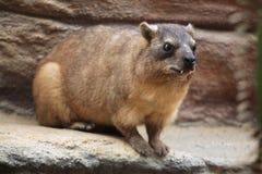 утес procavia hyrax capensis Стоковая Фотография RF