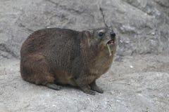 утес procavia hyrax capensis Стоковое Фото