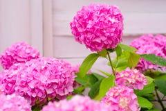 Утеха сада Цвести цветки в саде лета Розовое цветене гортензии полностью Цветение гортензии на солнечный день стоковые изображения rf