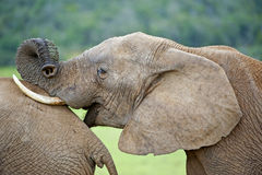 утеха слона Стоковое Изображение