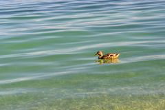 Утка Брайна в спокойной воде стоковое фото rf