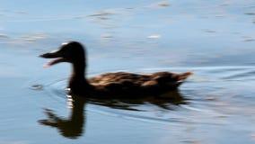 Утка Брайна красочная плавая на воду видеоматериал