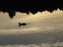 Утка в вечере Стоковые Фото