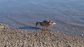 Утка в воде ища еда сток-видео
