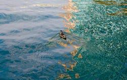 Утка в воде с шаловливыми пульсациями Стоковые Фотографии RF