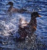 Утка в воде Стоковые Изображения